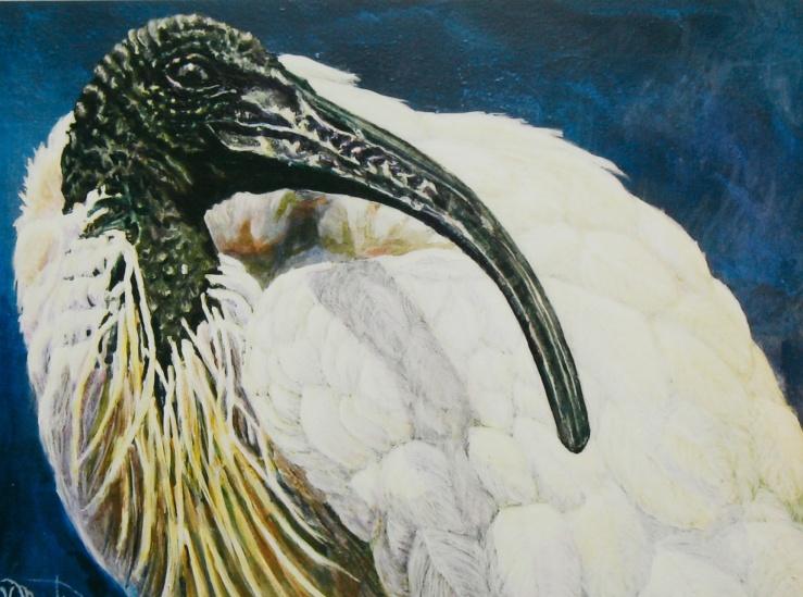 #264, White ibis, AU